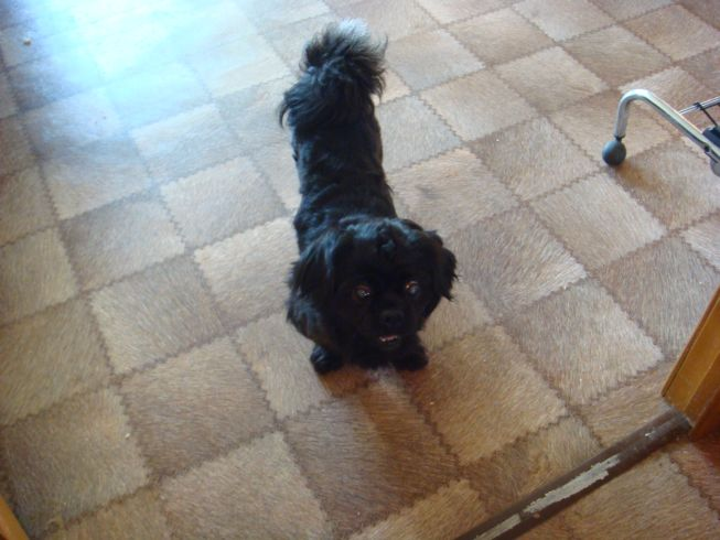 Метис пекинеса.  Собаки нашли свой дом.